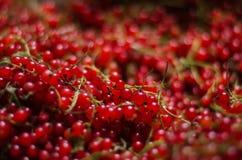 Närbild av en ljus röd vinbär Högen av den artistiska och healthful röda vinbäret för nytt saftigt för vegetarisk frukost Arkivfoto