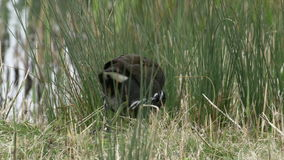 Närbild av en matning för rörhönastångfågel (Gallinulachloropus) arkivfilmer