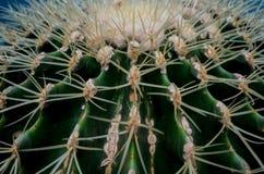 Närbild av en melonkaktus Royaltyfria Bilder