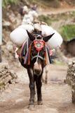Närbild av en mulahusvagn, Dudh Kosi dal, Solu Khumbu, Nepal Arkivfoto