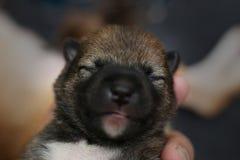 Närbild av en nyfödd Shiba Inu valp Japanska Shiba Inu förföljer Härlig brunt och mamma för färg för shibainuvalp 5 - gammal dag  arkivfoto