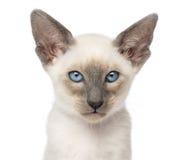 Närbild av en orientalisk Shorthair kattunge Arkivfoto