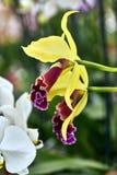 Närbild av en orkidé med gula kronblad Arkivbilder