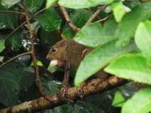 Närbild av en pisangekorre med en Rambutan i dess mun arkivfoto