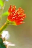 Närbild av en röd blomma Royaltyfria Bilder