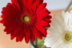 Närbild av en röd blommagerbera: det är ett släkte av örtartade växter av familjasteraceaen som påbörjar från Afrika, Asien och S royaltyfri bild