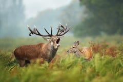 Närbild av en röd hjort som vrålar bredvid en hind Fotografering för Bildbyråer
