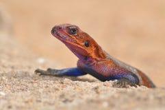 Närbild av en röd och blå agamaödla Arkivfoton
