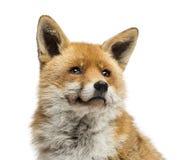 Närbild av en röd räv som ser upp, Vulpesvulpes som isoleras Arkivfoton