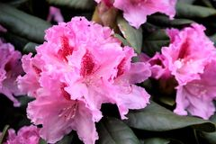 Närbild av en rosa rhododendron Fotografering för Bildbyråer