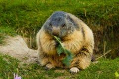 Närbild av en sällskaplig murmeldjur Royaltyfria Bilder