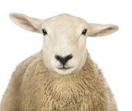 Närbild av en sheeps huvud Arkivfoto