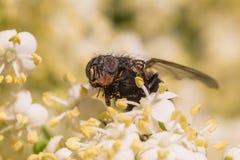 Närbild av en stor fluga på en blomma royaltyfria bilder