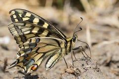 Närbild av en swallowtail för gammal värld - Papilio machaon - på jordningen royaltyfri fotografi