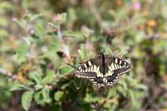Närbild av en Swallowtail fjäril fotografering för bildbyråer