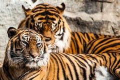 Närbild av en tigerframsida. Arkivbilder