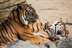 Närbild av en tigerframsida. Royaltyfri Foto