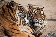 Närbild av en tigerframsida. Royaltyfri Bild