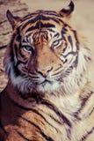 Närbild av en tigerframsida. Arkivfoton