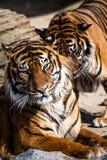 Närbild av en tigerframsida. Arkivbild