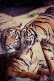 Närbild av en tigerframsida. Royaltyfria Foton