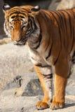 Närbild av en tigerframsida. Royaltyfri Fotografi