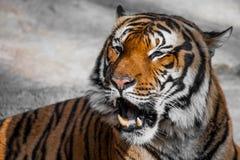 Närbild av en tigerframsida. Arkivfoto