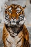 Närbild av en tigerframsida. Royaltyfria Bilder