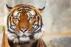 Närbild av en tigerframsida Arkivfoto