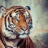 Närbild av en tigerframsida Fotografering för Bildbyråer