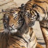 Närbild av en tigerframsida Royaltyfri Bild