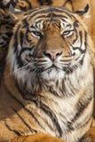 Närbild av en tigerframsida Royaltyfria Foton