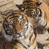 Närbild av en tigerframsida Arkivfoton