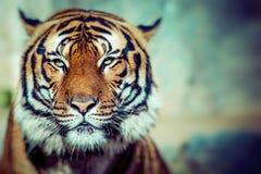 Närbild av en tigerframsida Arkivbild