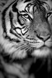 Närbild av en tigerframsida Selektivt fokusera Royaltyfri Foto