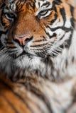 Närbild av en tigerframsida Selektivt fokusera Fotografering för Bildbyråer
