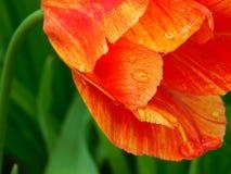 Närbild av en tulpan Arkivfoton