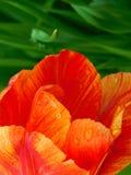 Närbild av en tulpan Royaltyfri Fotografi