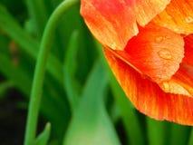 Närbild av en tulpan Royaltyfria Bilder
