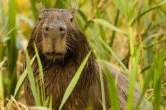 Närbild av en våt Capybara som kikar till och med det högväxta gräset Fotografering för Bildbyråer