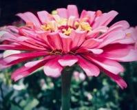 Närbild av en varm rosa Gerberatusensköna arkivfoton