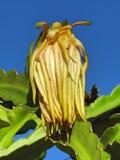 Närbild av en vissna kaktusblomma: drottning av den nattEpiphyllum oxypetalumen arkivfoto
