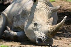 Närbild av en vit noshörning arkivfoton