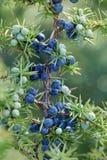 Närbild av enbär som växer på träd royaltyfri foto
