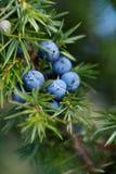 Närbild av enbär som växer på träd royaltyfri bild