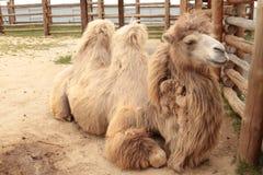 Närbild av ett kamelhuvud Royaltyfria Bilder