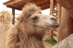 Närbild av ett kamelhuvud Royaltyfri Fotografi