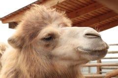 Närbild av ett kamelhuvud Royaltyfri Foto