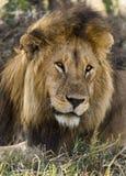 Närbild av ett lejon, Serengeti, Tanzania Royaltyfria Bilder