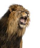 Närbild av ett lejon som vrålar, PantheraLejonet, 10 år Arkivbild